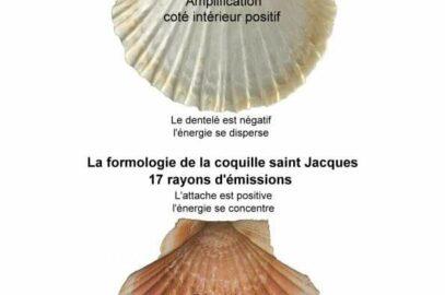 Comment utiliser une coquille Saint Jacques énergétiquement